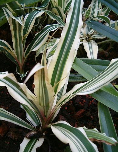 cryptanthus-bromelioides-levelcsillag