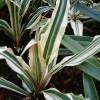 A nagy levélcsillag (Cryptanthus bromelioides)