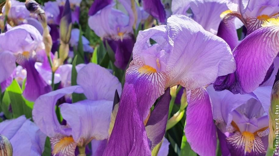 Árnyékban is virágzik az írisz