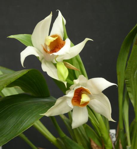 feher-orchidea