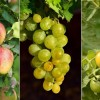 A bór tartalmú lombtrágya javítja a termésminőséget