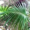 A kenciapálma (Howeia forsterana)