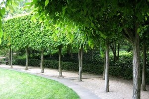 Sövénynövények választása és gondozása