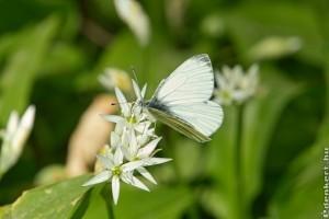 A medvehagyma (Allium Ursinum) termesztése és felhasználása