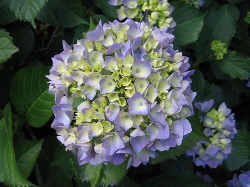 lila-hortenzia