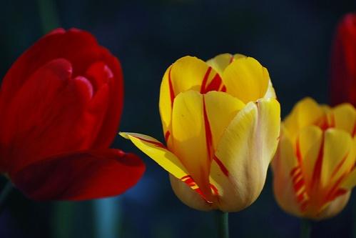 tulipan-viragok