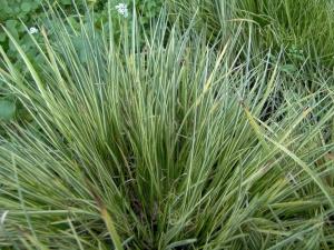 acorus-gramineus-variegatu