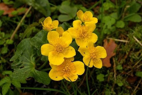 caltha-palustris-vizinoveny