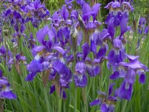 iris-sibirica