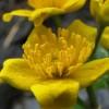 Vízinövények - mocsár zóna (képekkel)