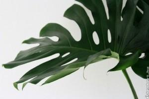 Filodendron, könnyezőpálma (Monstera deliciosa)