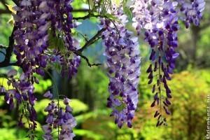 A lilaakác (Wisteria sinensis) gondozása