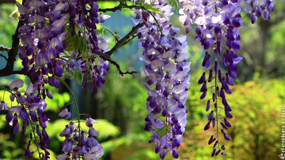 A gyönyörű lilaakác ültetése és gondozása