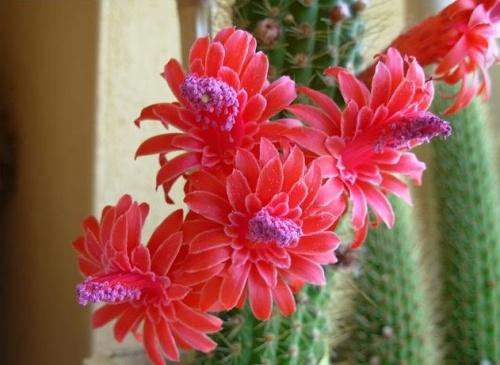 kaktusz tavaszi ápolása