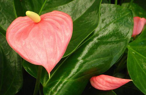 Tavasztól nyár végéig virágzik a flamingóvirág