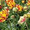 Virághagyma és lasagne, avagy tavaszi színkavalkád zsebkendőnyi területen