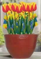 tulipanok-cserepben
