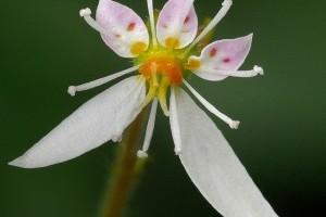 Az indás kőtörőfű (Saxifraga stolonifera)