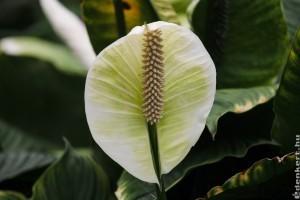 A vitorlavirág (Spathiphyllum) gondozása