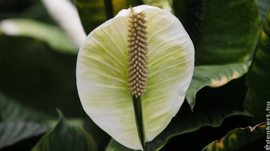 Így gondozzuk a vitorlavirágot (Spathiphyllum), hogy sokáig szép maradjon!