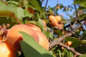 Mi az igazság a kajszibarack (Prunus armeniaca) magjáról?