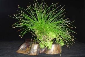 A szobafűpalka (Scirpus Cernuus) gondozása