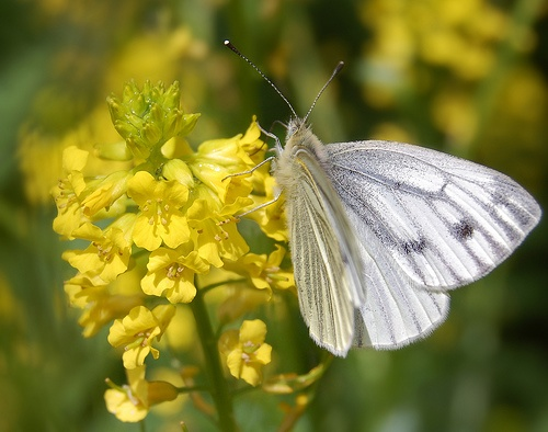 szapora-zsombor-pillango