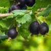 Milyen gyümölcs a josta (Ribes x nidigrolaria)?