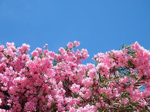 Leander virágzása