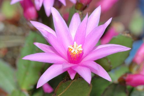 husveti-kaktusz