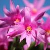 Hogyan gondozzuk a húsvéti kaktuszt (Rhipsalidopsis gaertneri)?