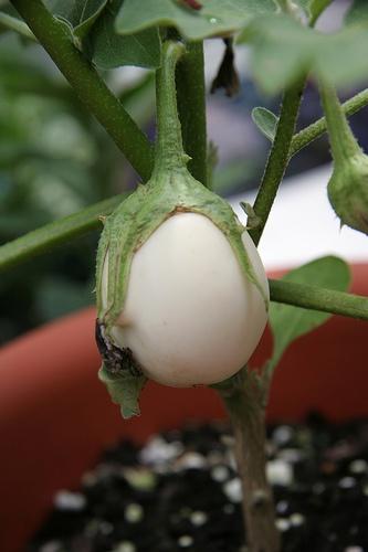 tojásgyümölcs - padlizsán