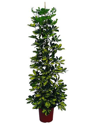 schefflera-arboricola-sugararalia