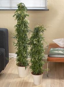 JÁZMIN (Jasminum polyanthum)