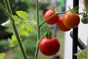 Paradicsom termesztése erkélyen