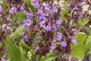A gyógyító zsálya (Salvia officinalis)