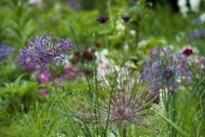 A díszhagyma - virágoskertünk deviáns dísze