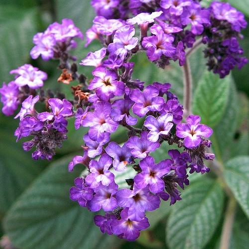 vaniliavirag-heliotropium-arborescens