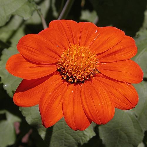 narancssarga-viragu-pompas-titonia