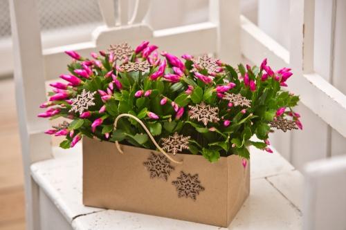karacsonyi_kaktusz_pink