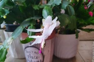 Karácsonyi kaktusz: hogyan bírjam virágzásra?