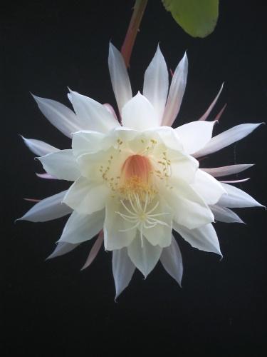 kaktusz-pozsgasnoveny