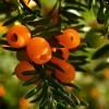 Tiszafa, a 2011-es év fája