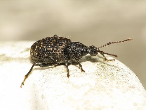 otiorhynchus-sulcatus