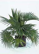 KÍNAI LEGYEZŐPÁLMA (Livistonia chinensis)