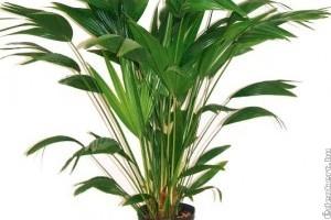A nappalik dísze a kínai legyezőpálma (Livistonia chinensis)