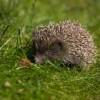 Hasznos állat a kertben: a sün