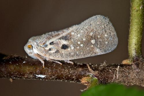 metcalfa-pruinosa-amerikai-lepkekaboca