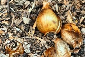 Hagymások, gumós növények szaporítása