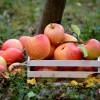 Hogyan tároljuk az almát, hogy friss és ép maradjon?